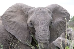Elephants can live 70 years and eat more than 600 pounds of food every day.